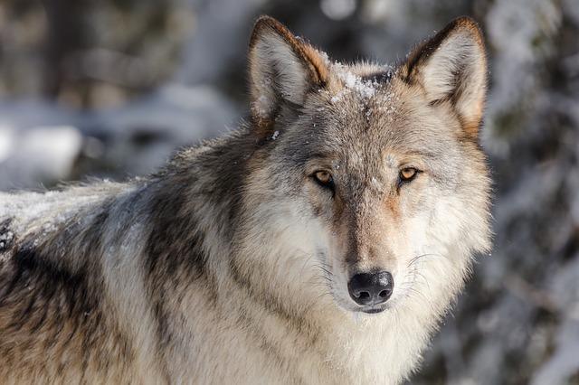 hlava vlka