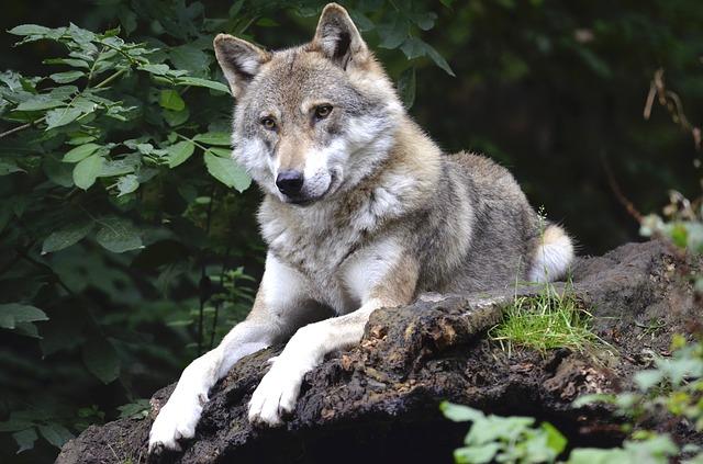 ležící vlk